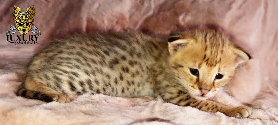 F1 Savannah Kitten - Luxury Savannahs