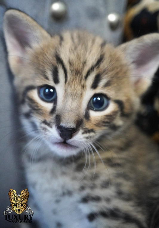 F2 Savannah Kitten
