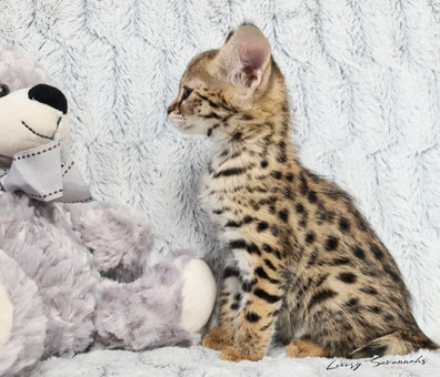 F1 Savannah Kitten ATHENA