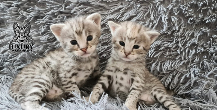 Silver F1 Savannah Kittens