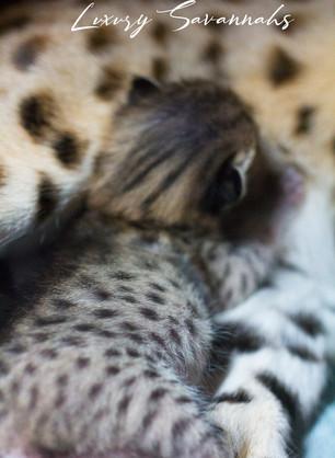 Luxury Savannahs F2 Savannah Kitten