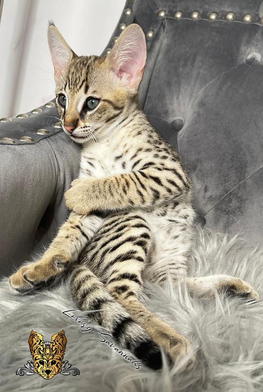 F2 Savannah Kitten Odin