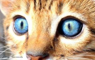Luxury Savannahs F4 Kitten