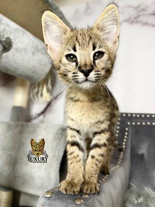 F1 Savannah Kitten - Female