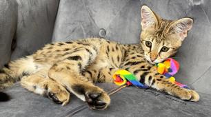 HP F1 Savannah Kitten