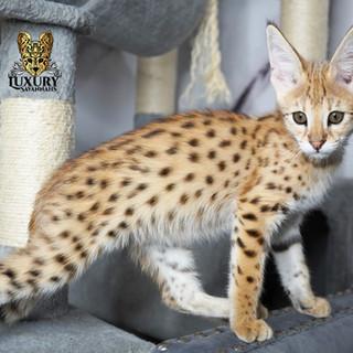 F1 Savannah Kitten Ahsoka