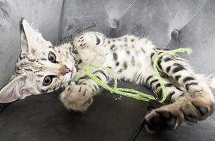 Silver Savannah Kitten - Luxury Savannahs