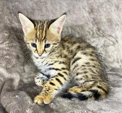 F1 Savannah Kitten Female