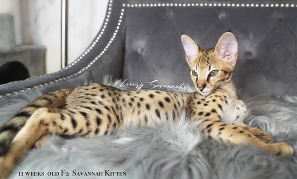 Luxury Savannahs F2 Male