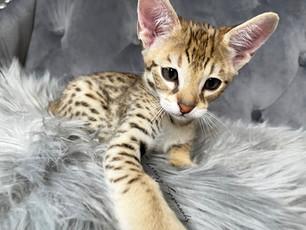 F2 Savannah Kitten Thor