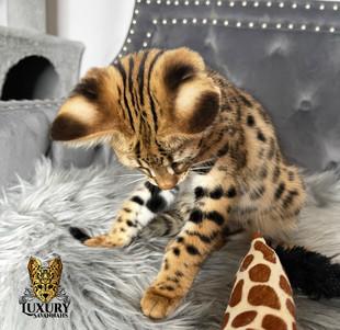 F1 Savannah Kitten Golden Male