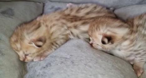 F1 Savannah Kittens March 2021
