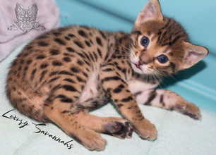 Luxury Savannahs F4 Kitten