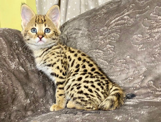 "F1 Savannah Kitten ""Thalia"""