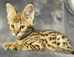 F1 Savannah Kitten _MAUI_