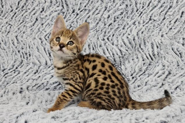 F1 Savannah Kitten ATLAS.jpg