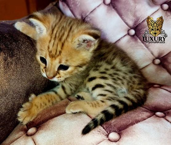 F1 Savannah Kitten 1