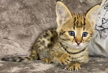 """F1 Savannah Kitten """"Thalia"""""""