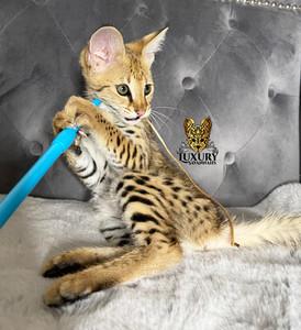 F1 Savannah Kitten _Falcon_