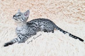 F3 Savannah Kitten.jpg
