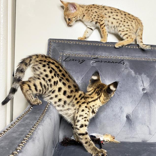 F1 Savannah Kitten CIRCE