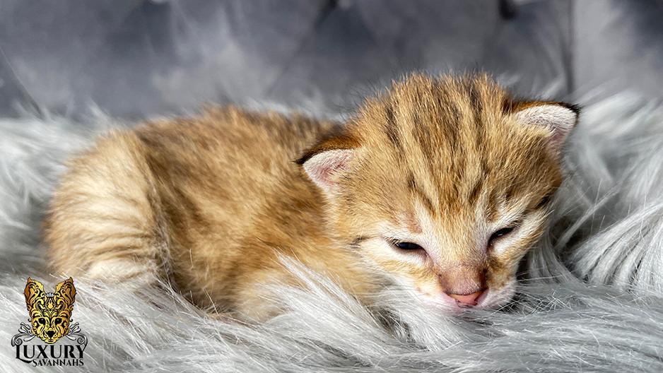 F2 Savannah Kitten Female