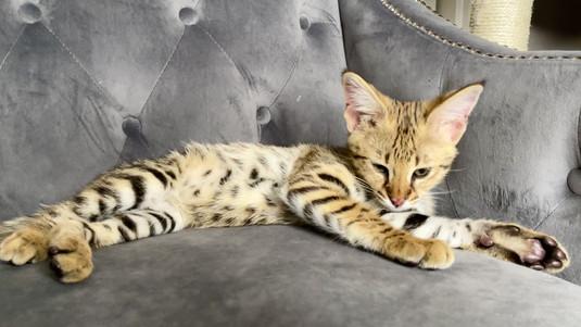 F1 Savannah Kitten KING.mov