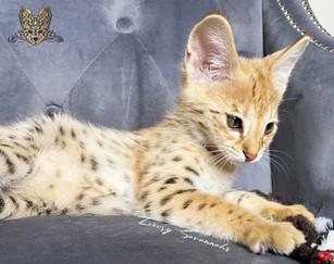 F1 Savannah Kitten