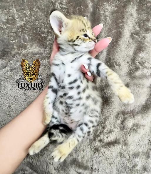 F1 Savannah Kitten Aurora