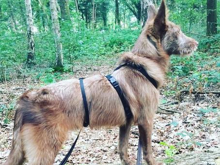 Wandelen met je kersverse adoptiehond uit het buitenland