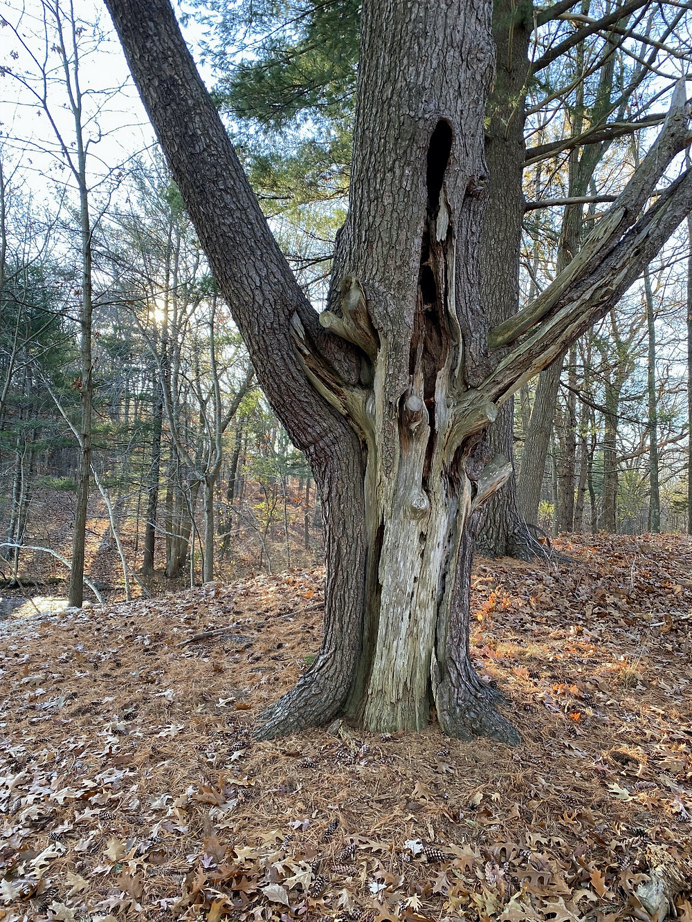 An old tree that is dying from the outside in