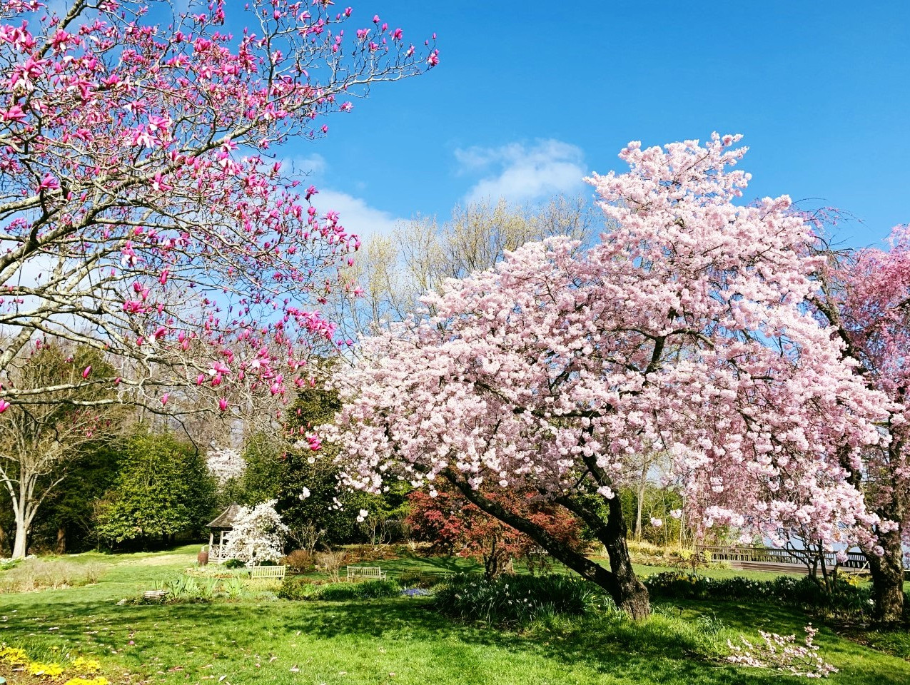 Magnolia 'Galaxy' on the left and Cherry