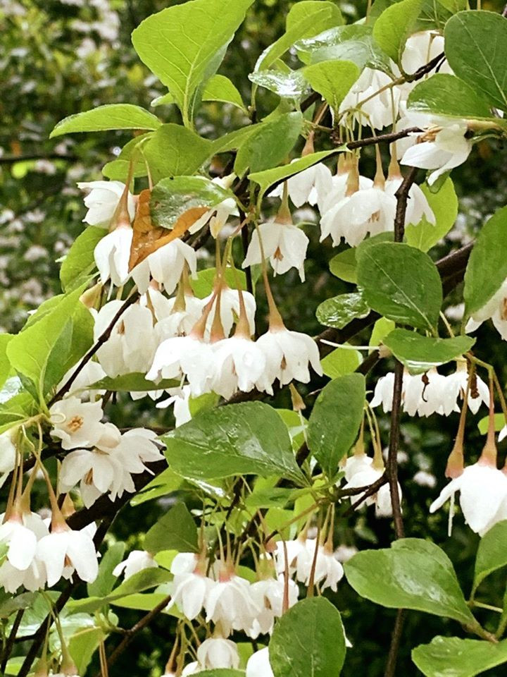 Snowbell (Stryax japonicus)
