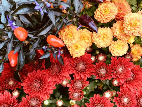 Botanist's Lens: Fall Flavor, Mums, and More!