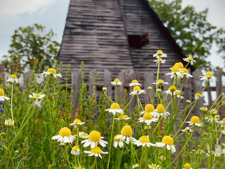 #BotanistLens: Perennial 'healers' for every garden.