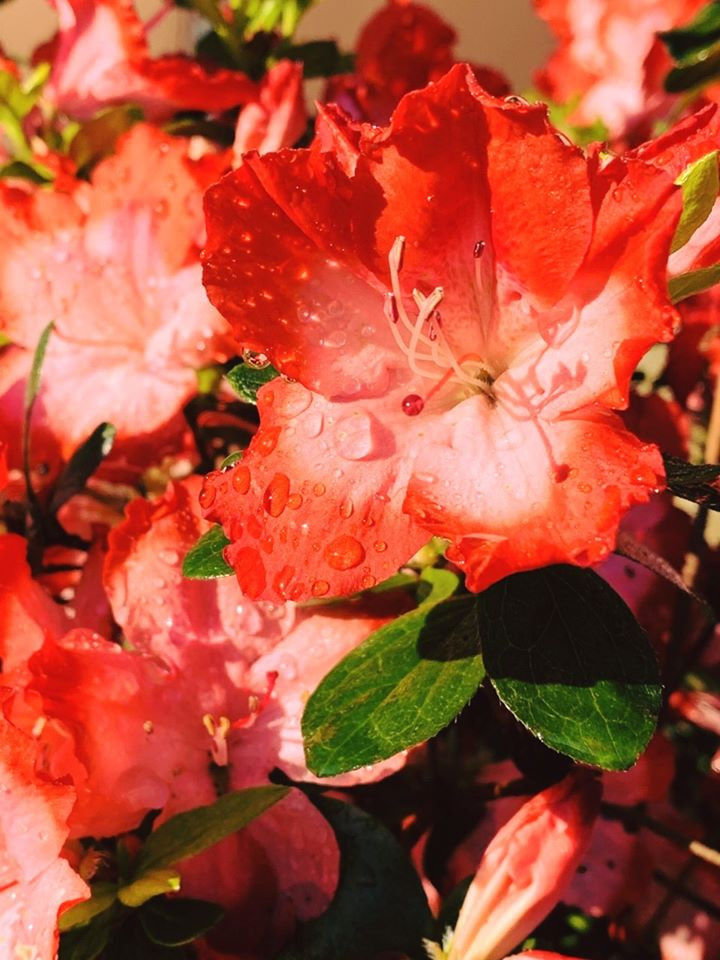 Marshy Point Azalea 'Red Tape'