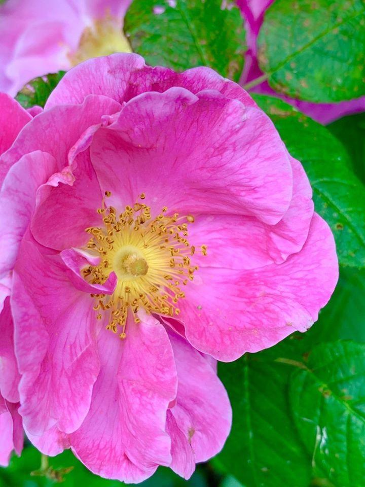 Rosa gallica var. offcinallis