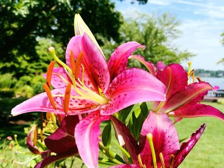 Botanist's Lens: Lovely Lilies of London Town