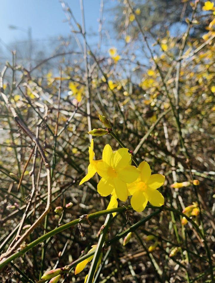 Winter Jasmine Jasminum nudiflorum