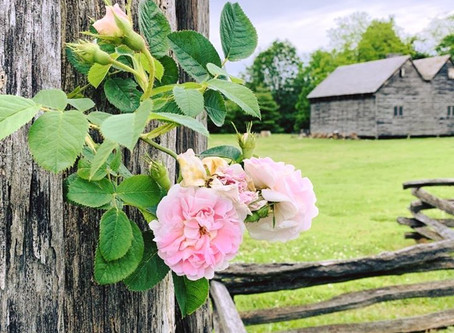Botanist's Lens: Stop and Smell the Heirloom Roses