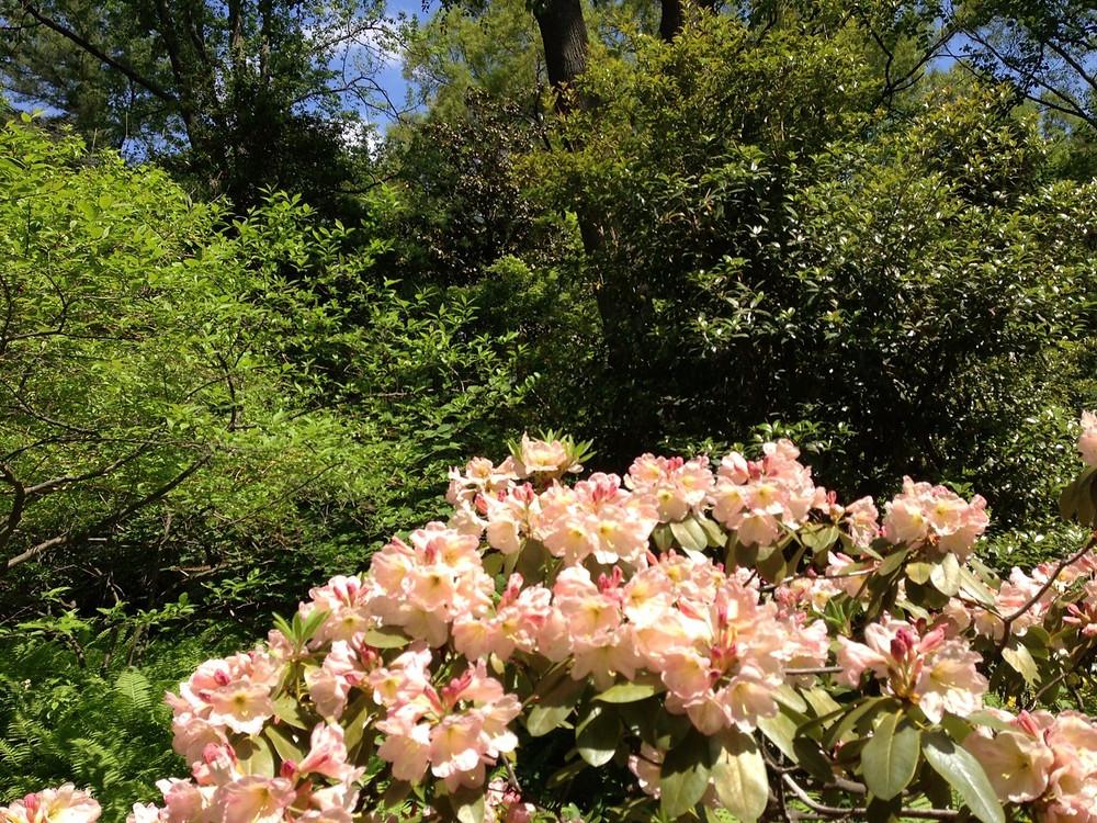 Rhododendron 'Dexter'