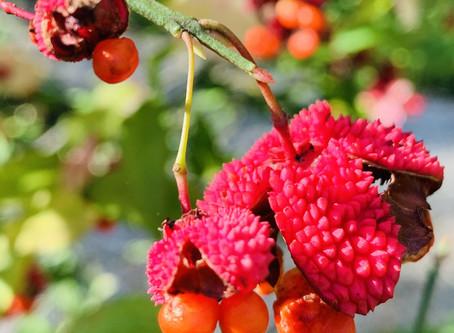 Botanist's Lens: Hearts-a-Bustin', Beautyberry, and Lantana