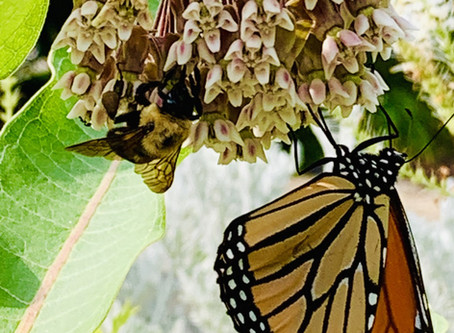 Wildlife Wednesdays: Monarch Butterflies