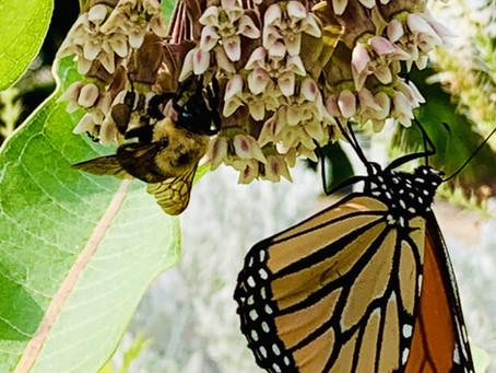 Wildlife Wednesdays: Monarch Butterflies