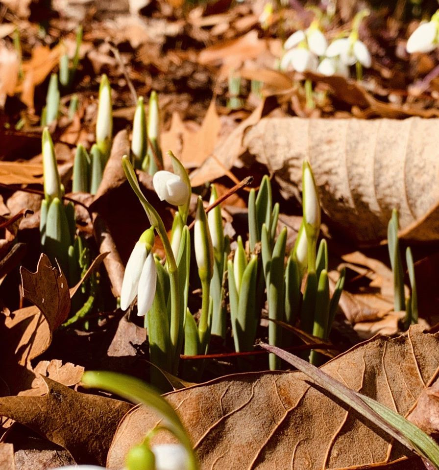 Tender buds of 'Galanthus sps. 'Snowdrops', 'Fair Maid of February'
