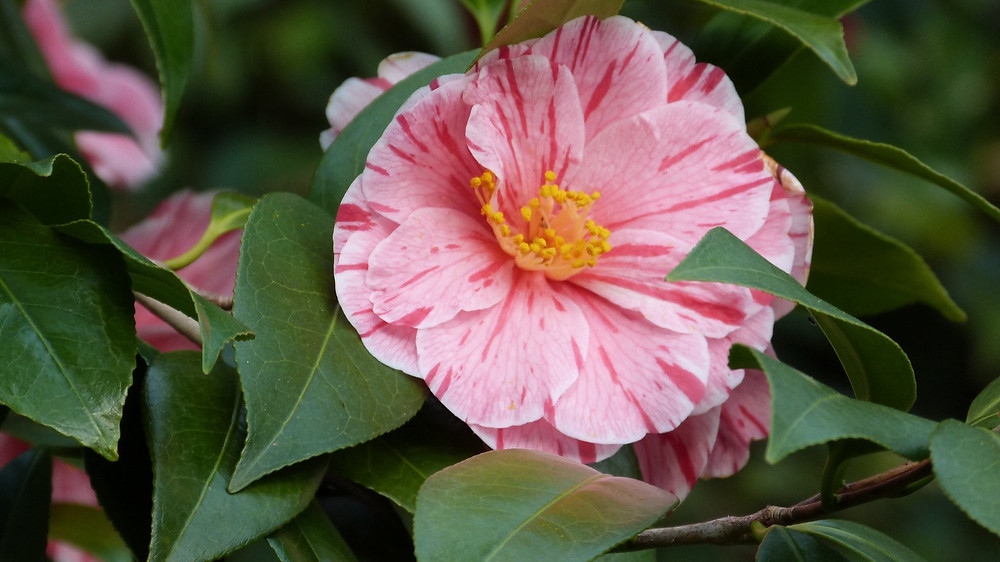 Camellia japonica 'Herme' (Picture courtesy, Dinny White)