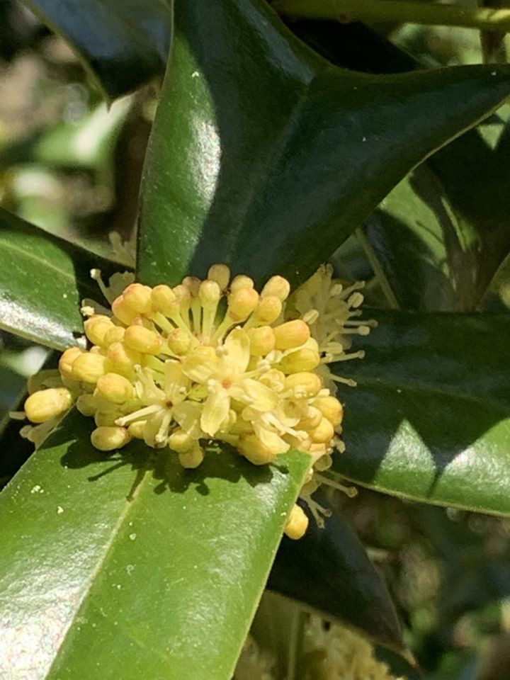 Male dioecious flower of Holly 'Ilex sps.'