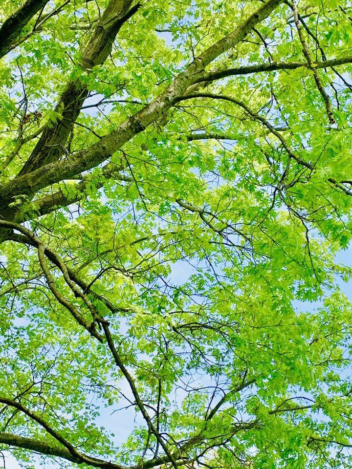 New lime green Oak tree leaves