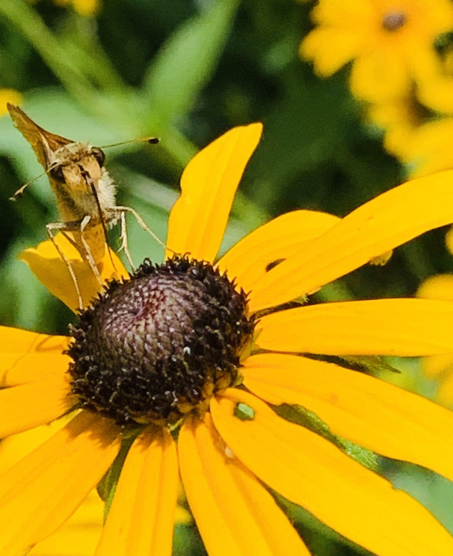 Skipper moth relishing the Black-eyed Susan nectar