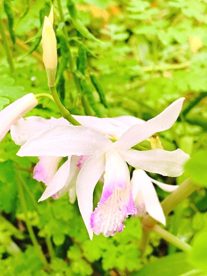 Ground Orchid (Bletilla striata 'White Peral')